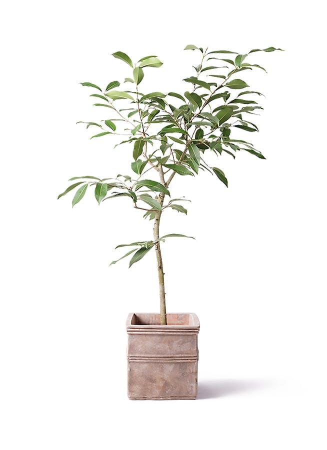 観葉植物 アマゾンオリーブ (ムラサキフトモモ) 8号 テラアストラ カペラキュビ 赤茶色 付き