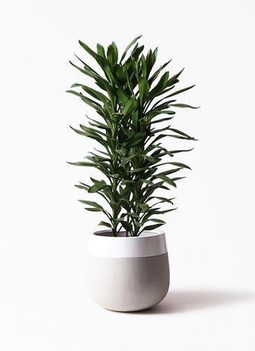 観葉植物 ドラセナ グローカル 10号 ファイバーストーンタウルス ミドル 白 付き