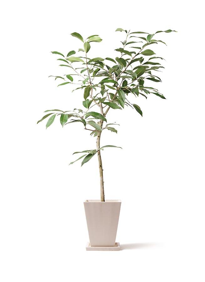 観葉植物 アマゾンオリーブ (ムラサキフトモモ) 8号 パウダーストーン 白 付き
