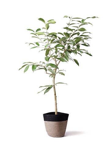 観葉植物 アマゾンオリーブ (ムラサキフトモモ) 8号 リブバスケットNatural and Black 付き