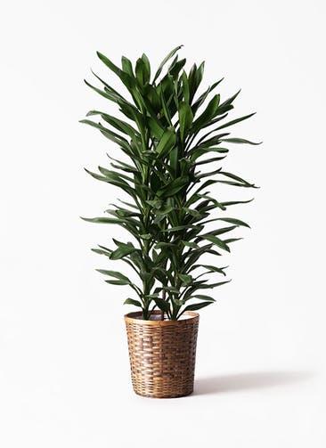 観葉植物 ドラセナ グローカル 10号 竹バスケット 付き