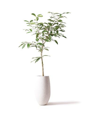 観葉植物 アマゾンオリーブ (ムラサキフトモモ) 8号 フォンティーヌトール 白 付き