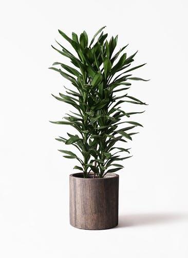 観葉植物 ドラセナ グローカル 10号 アルファシリンダープランター 付き