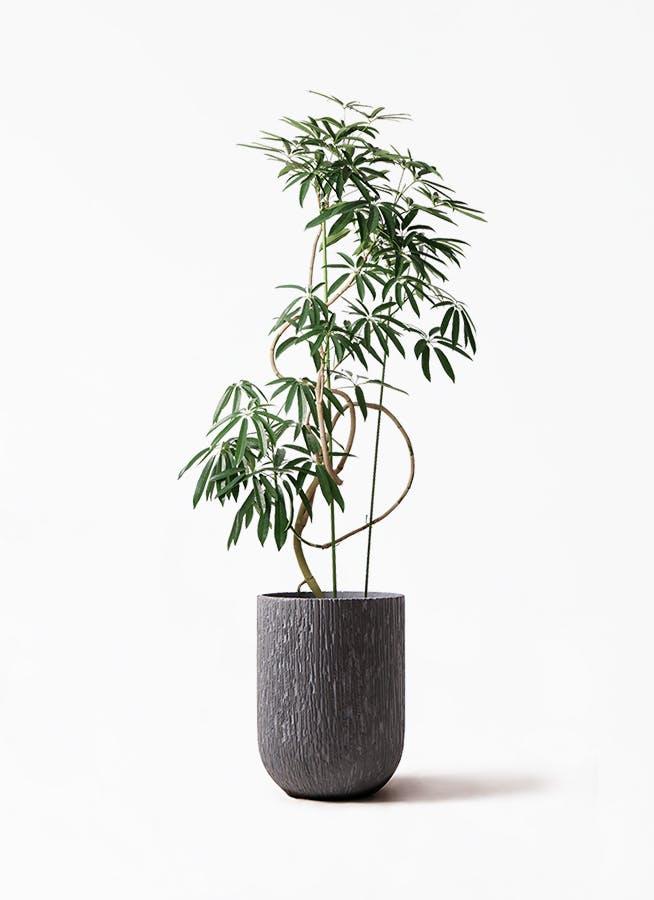 観葉植物 シェフレラ アンガスティフォリア 10号 曲り カルディナトールダークグレイ