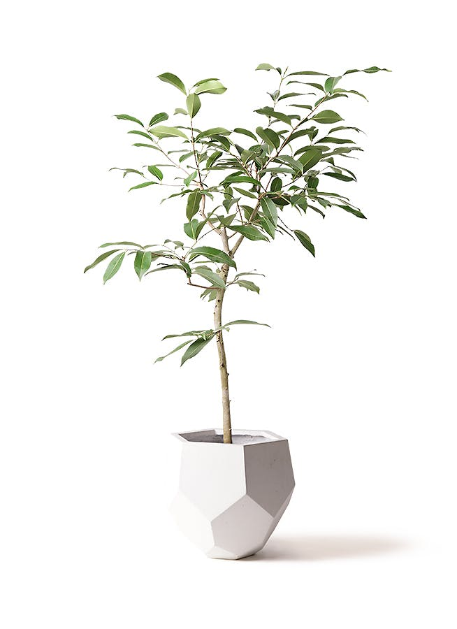 観葉植物 アマゾンオリーブ (ムラサキフトモモ) 8号 ポリゴヘクサ 白 付き