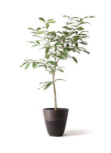 観葉植物 アマゾンオリーブ (ムラサキフトモモ) 8号 ジュピター 黒 付き