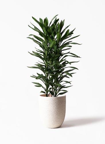 観葉植物 ドラセナ グローカル 10号 ビアスアルトエッグ 白 付き