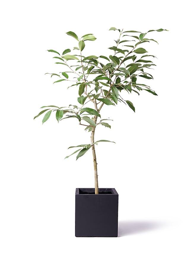 観葉植物 アマゾンオリーブ (ムラサキフトモモ) 8号 ベータ キューブプランター 黒 付き