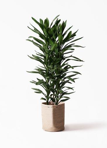 観葉植物 ドラセナ グローカル 10号 リブバスケットNatural 付き