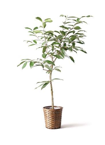 観葉植物 アマゾンオリーブ (ムラサキフトモモ) 8号 竹バスケット 付き