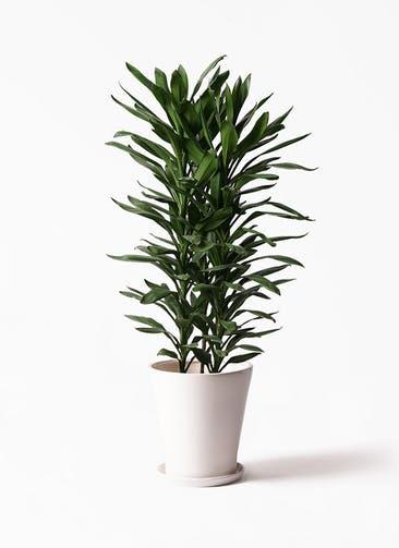 観葉植物 ドラセナ グローカル 10号 サブリナ 白 付き