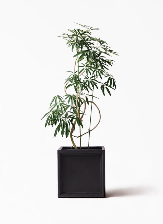 観葉植物 シェフレラ アンガスティフォリア 10号 曲り ブリティッシュキューブ