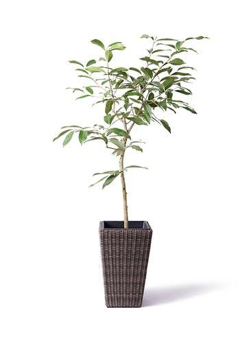 観葉植物 アマゾンオリーブ (ムラサキフトモモ) 8号 ウィッカーポット スクエアロング OT 茶 付き