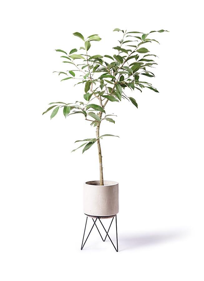 観葉植物 アマゾンオリーブ (ムラサキフトモモ) 8号 ビトロ エンデカ クリーム アイアンポットスタンド ブラック 付き