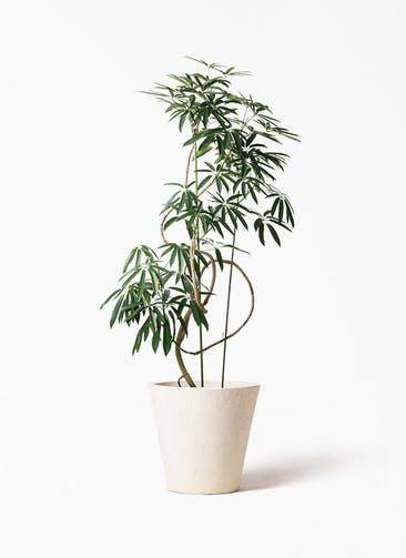 観葉植物 シェフレラ アンガスティフォリア 10号 曲り フォリオソリッド クリーム