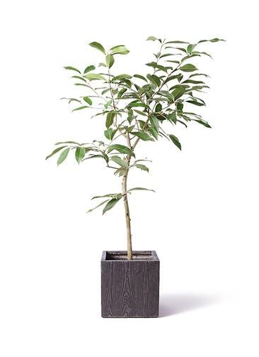 観葉植物 アマゾンオリーブ (ムラサキフトモモ) 8号 ベータ キューブプランター ウッド 茶 付き