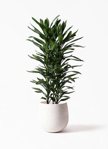 観葉植物 ドラセナ グローカル 10号 エコストーンwhite 付き