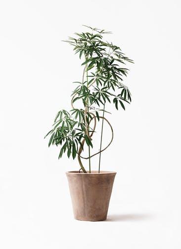 観葉植物 シェフレラ アンガスティフォリア 10号 曲り ルーガ アンティコ ソリッド