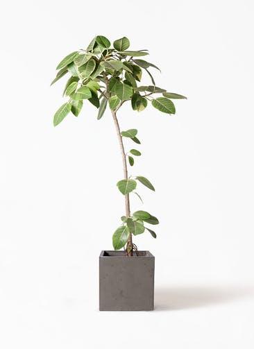 観葉植物 フィカス アルテシーマ 8号 ストレート コンカー キューブ  灰 付き