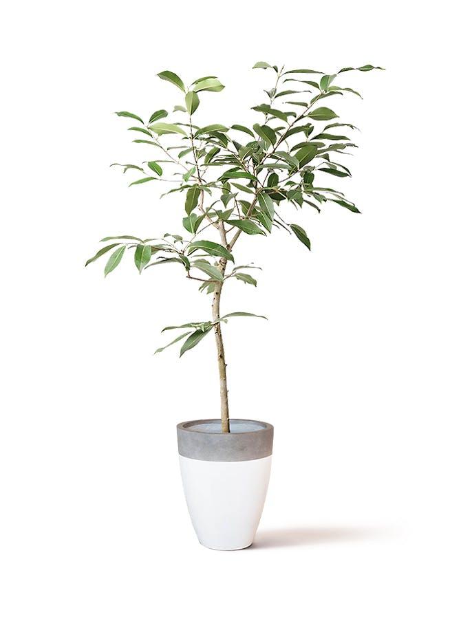 観葉植物 アマゾンオリーブ (ムラサキフトモモ) 8号 ファイバーストーンカプリ 白 付き