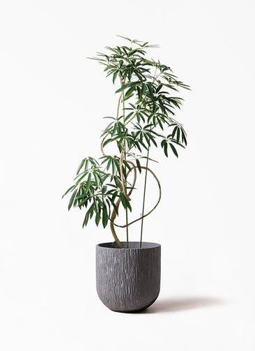 観葉植物 シェフレラ アンガスティフォリア 10号 曲り カルディナダークグレイ