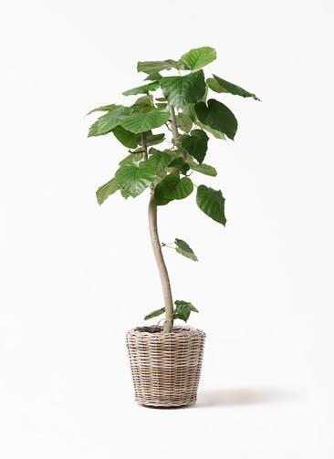 観葉植物 フィカス ウンベラータ 8号 曲り モンデリック ラタン 付き