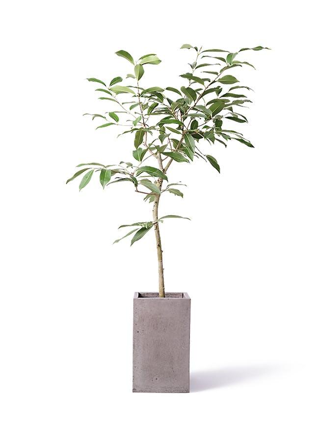 観葉植物 アマゾンオリーブ (ムラサキフトモモ) 8号 セドナロング グレイ 付き