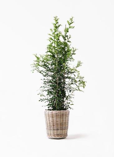 観葉植物 シルクジャスミン(げっきつ) 10号 モンデリック ラタン 付き