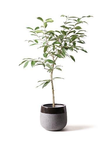 観葉植物 アマゾンオリーブ (ムラサキフトモモ) 8号 ファイバーストーンタウルス 黒 付き