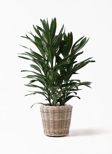 観葉植物 ドラセナ グローカル 8号 モンデリック ラタン 付き