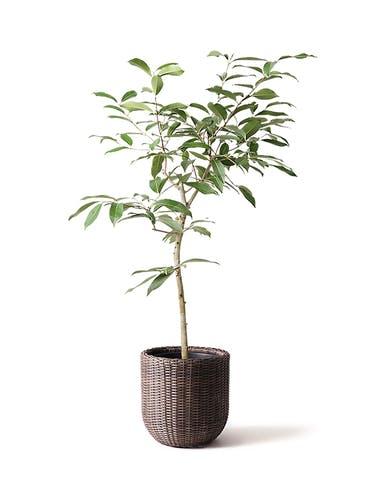 観葉植物 アマゾンオリーブ (ムラサキフトモモ) 8号 ウィッカーポットエッグ 茶 付き