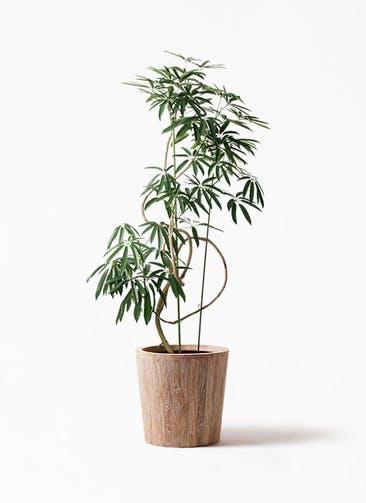 観葉植物 シェフレラ アンガスティフォリア 10号 曲り ウッドプランター