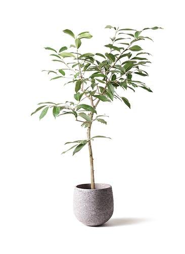 観葉植物 アマゾンオリーブ (ムラサキフトモモ) 8号 エコストーンGray 付き