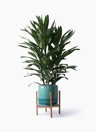 観葉植物 ドラセナ グローカル 8号 ビトロ エンデガ ターコイズ ウッドポットスタンド付き