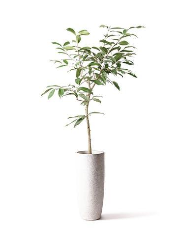 観葉植物 アマゾンオリーブ (ムラサキフトモモ) 8号 エコストーントールタイプ white 付き