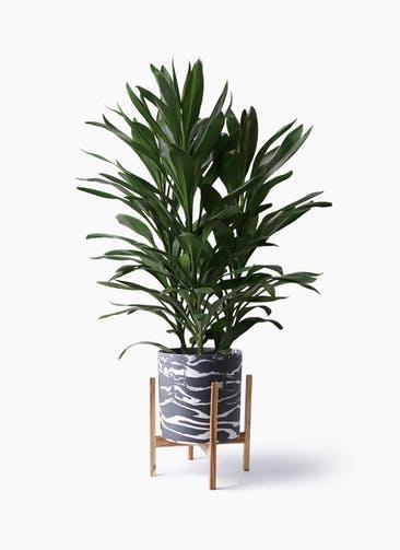 観葉植物 ドラセナ グローカル 8号 ホルスト シリンダー マーブル ウッドポットスタンド付き