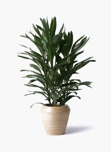 観葉植物 ドラセナ グローカル 8号 アルマ ミドル 付き