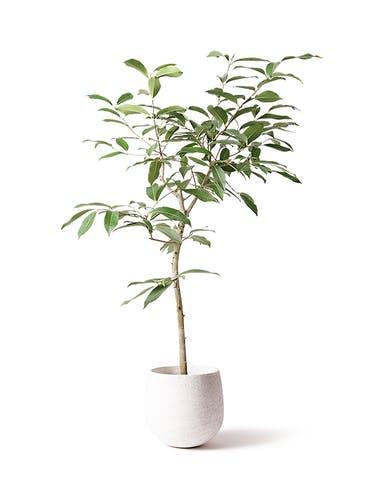 観葉植物 アマゾンオリーブ (ムラサキフトモモ) 8号 エコストーンwhite 付き
