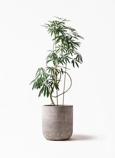 観葉植物 シェフレラ アンガスティフォリア 10号 曲り エルバ 白