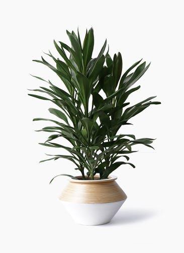 観葉植物 ドラセナ グローカル 8号 アルマジャー 白 付き