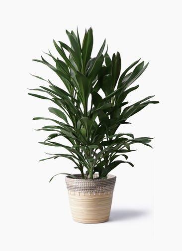 観葉植物 ドラセナ グローカル 8号 アルマ コニック 白 付き