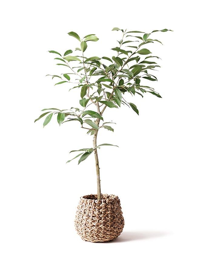 観葉植物 アマゾンオリーブ (ムラサキフトモモ) 8号 ラッシュバスケット Natural 付き