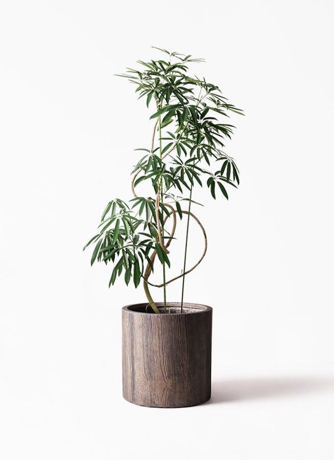 観葉植物 シェフレラ アンガスティフォリア 10号 曲り アルファ シリンダープランター ウッド 付き