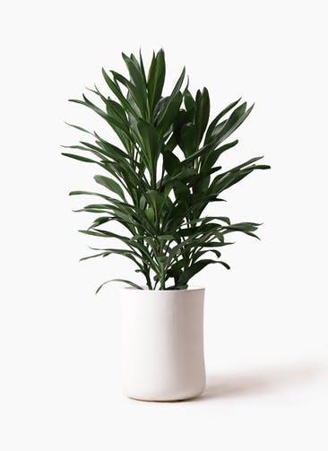 観葉植物 ドラセナ グローカル 8号 バスク ミドル ホワイト 付き