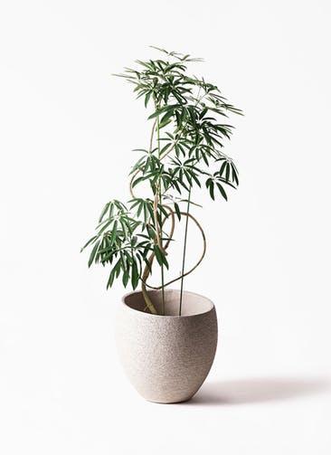 観葉植物 シェフレラ アンガスティフォリア 10号 曲り エコストーンLight Gray 付き