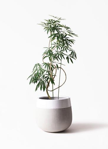 観葉植物 シェフレラ アンガスティフォリア 10号 曲り ファイバーストーン タウルス ミドル 白 付き
