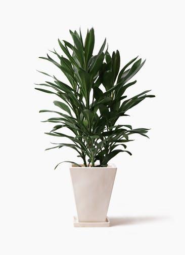 観葉植物 ドラセナ グローカル 8号 スクエアハット 白 付き