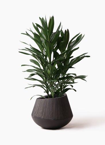 観葉植物 ドラセナ グローカル 8号 エディラウンド 黒 付き