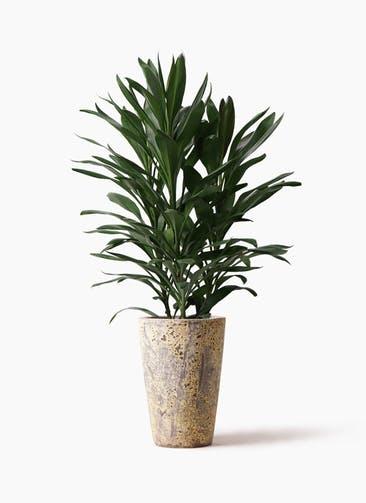 観葉植物 ドラセナ グローカル 8号 アトランティス クルーシブル 付き