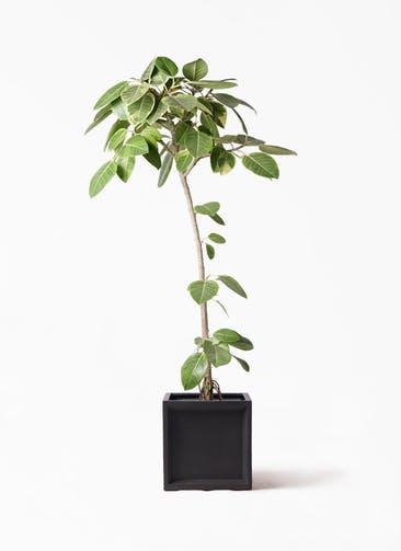観葉植物 フィカス アルテシーマ 8号 ストレート ブリティッシュキューブ 付き